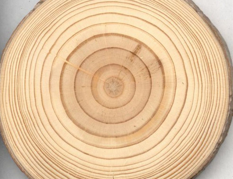 Lát cắt ngang thân cây gỗ thông