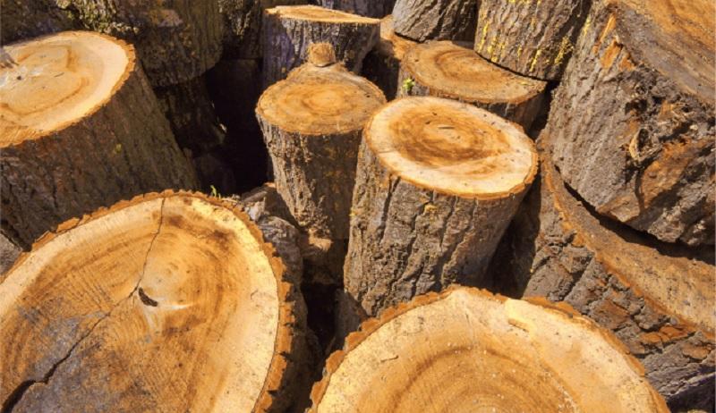 Gỗ gù hương là gỗ gì? Gỗ gù hương có tác dụng gì? Nhóm mấy?